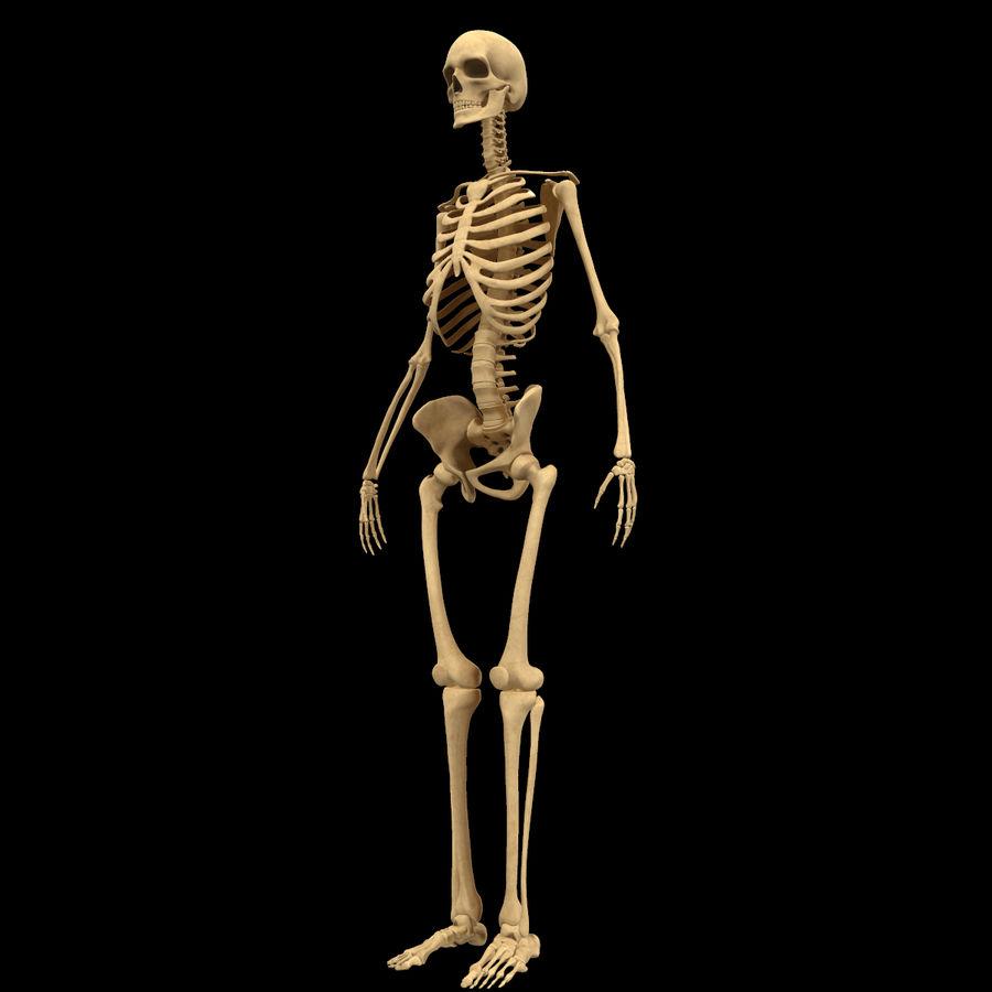 Анатомия скелета всего тела royalty-free 3d model - Preview no. 4