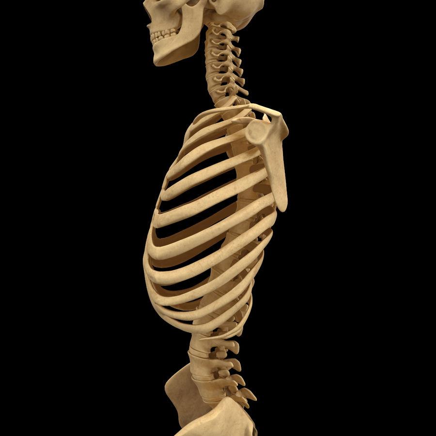 Анатомия скелета всего тела royalty-free 3d model - Preview no. 16