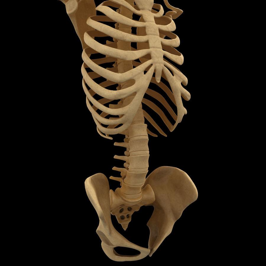 Анатомия скелета всего тела royalty-free 3d model - Preview no. 22