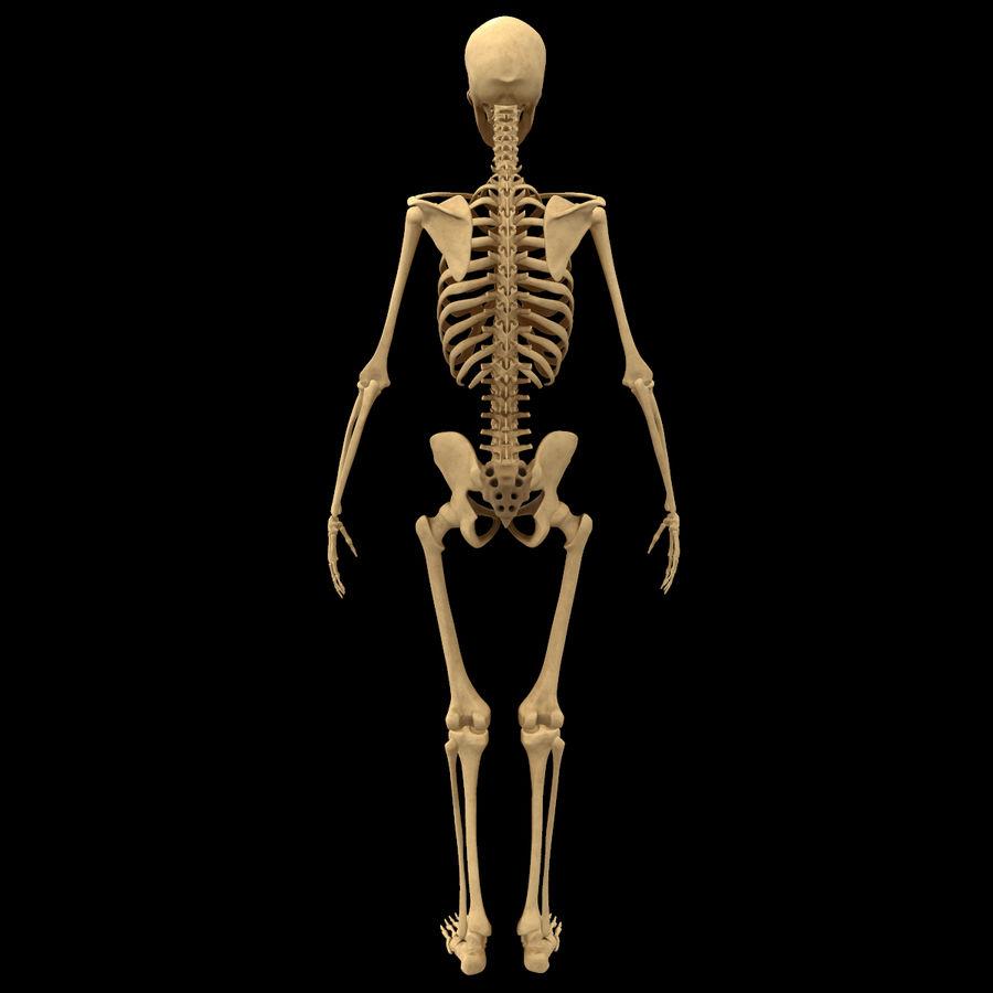 Анатомия скелета всего тела royalty-free 3d model - Preview no. 3