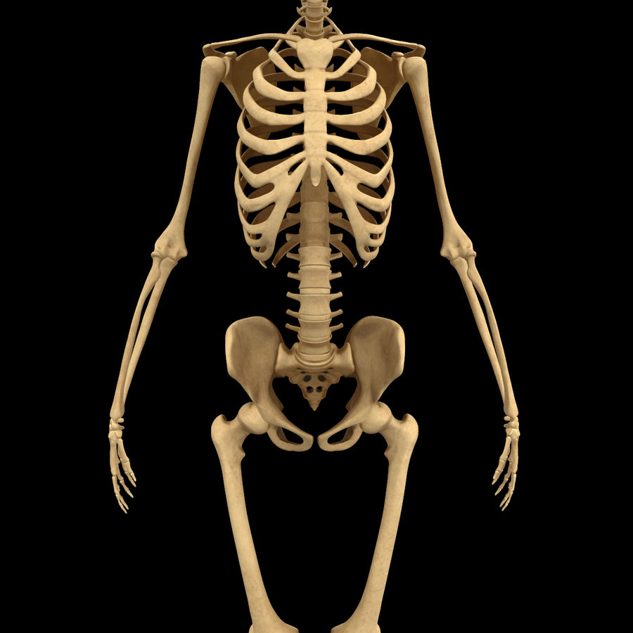Анатомия скелета всего тела royalty-free 3d model - Preview no. 7