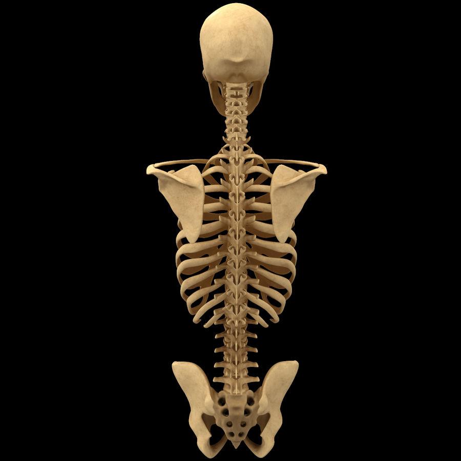 Анатомия скелета всего тела royalty-free 3d model - Preview no. 14