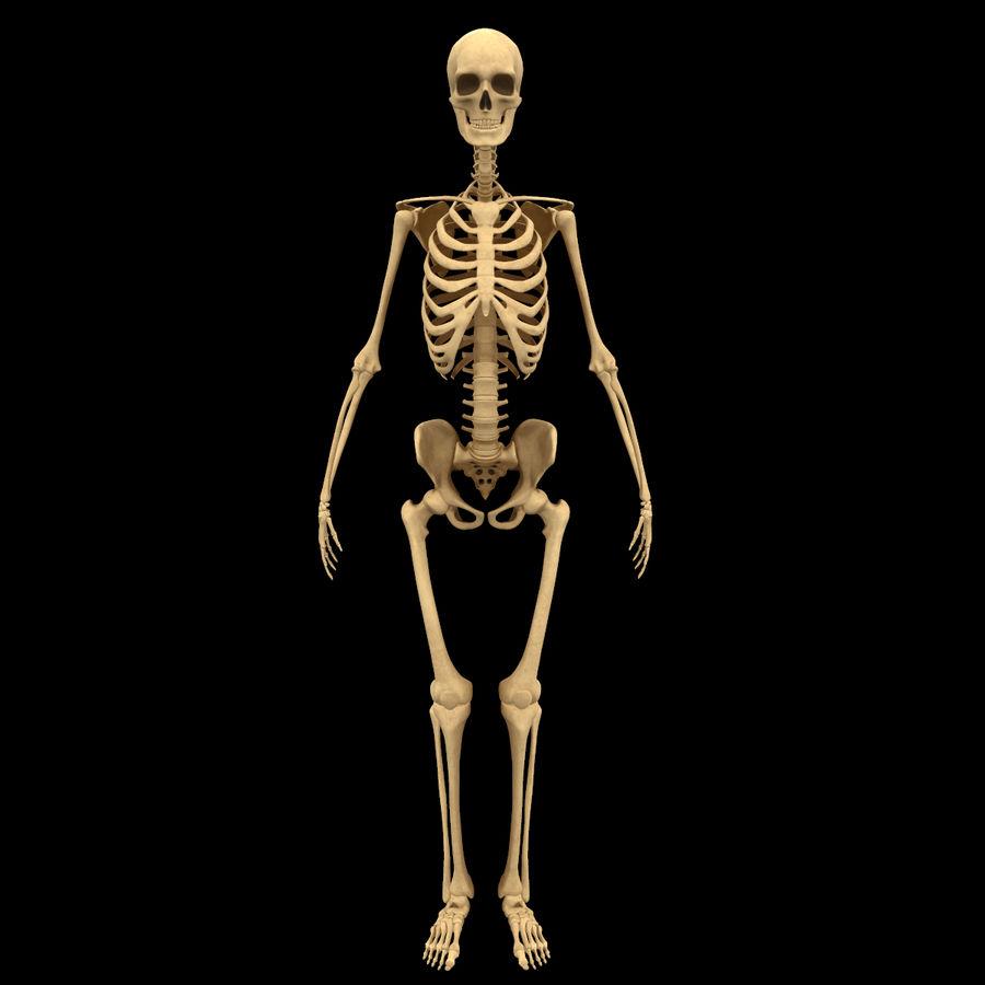 Анатомия скелета всего тела royalty-free 3d model - Preview no. 1