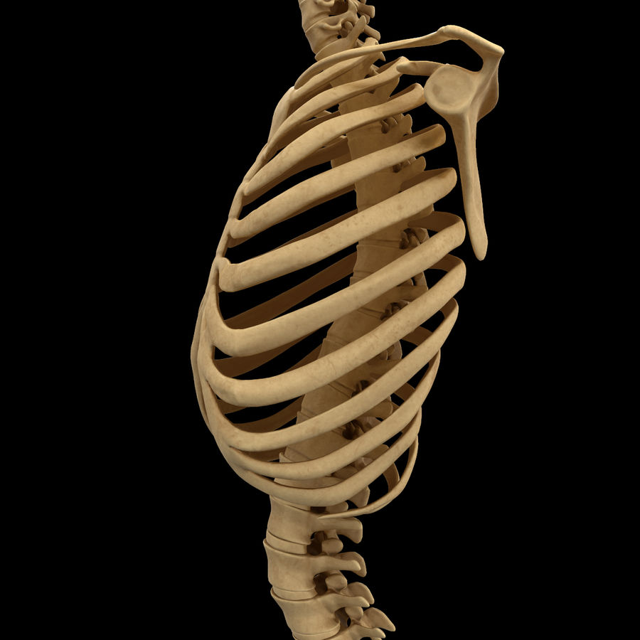 Torso Arm Spine Muscle Bone Anatomy royalty-free 3d model - Preview no. 24