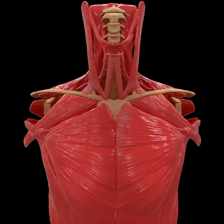 Torso Arm Spine Muscle Bone Anatomy royalty-free 3d model - Preview no. 9
