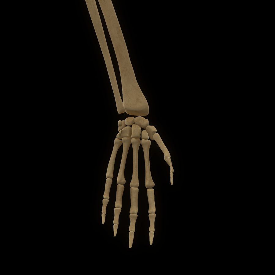 Torso Arm Spine Muscle Bone Anatomy royalty-free 3d model - Preview no. 57