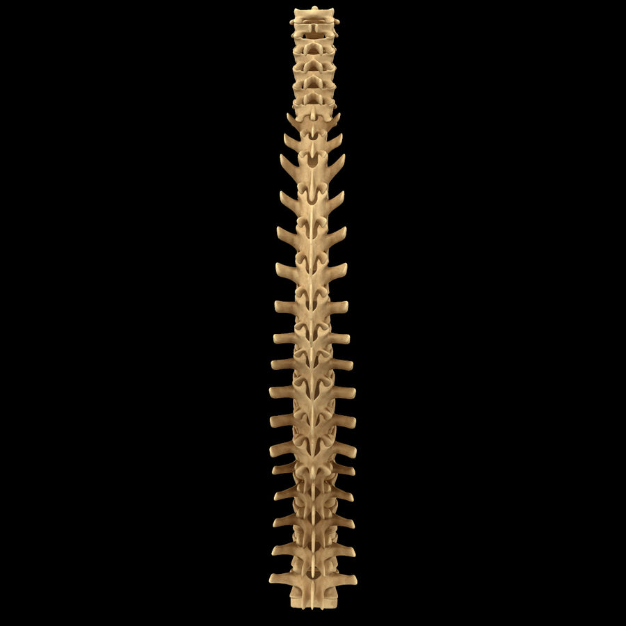 Torso Arm Spine Muscle Bone Anatomy royalty-free 3d model - Preview no. 37