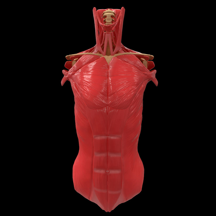 Torso Arm Spine Muscle Bone Anatomy royalty-free 3d model - Preview no. 13
