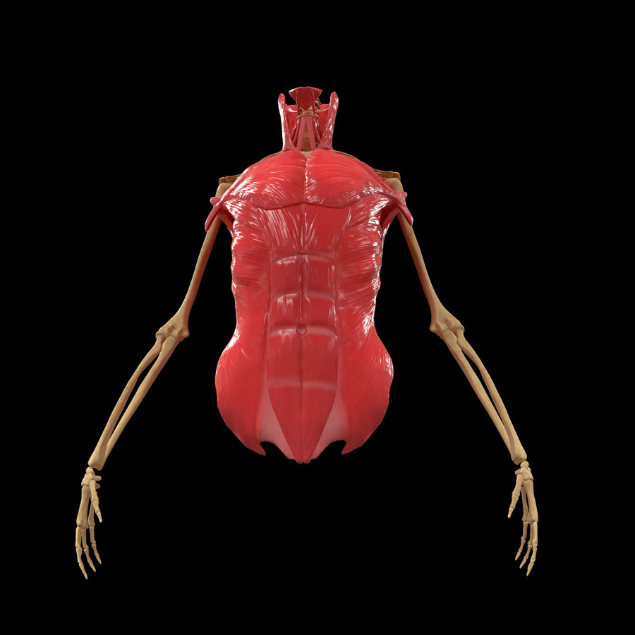 Torso Arm Spine Muscle Bone Anatomy royalty-free 3d model - Preview no. 4