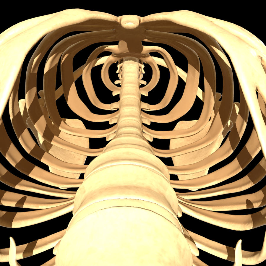 Torso Arm Spine Muscle Bone Anatomy royalty-free 3d model - Preview no. 32