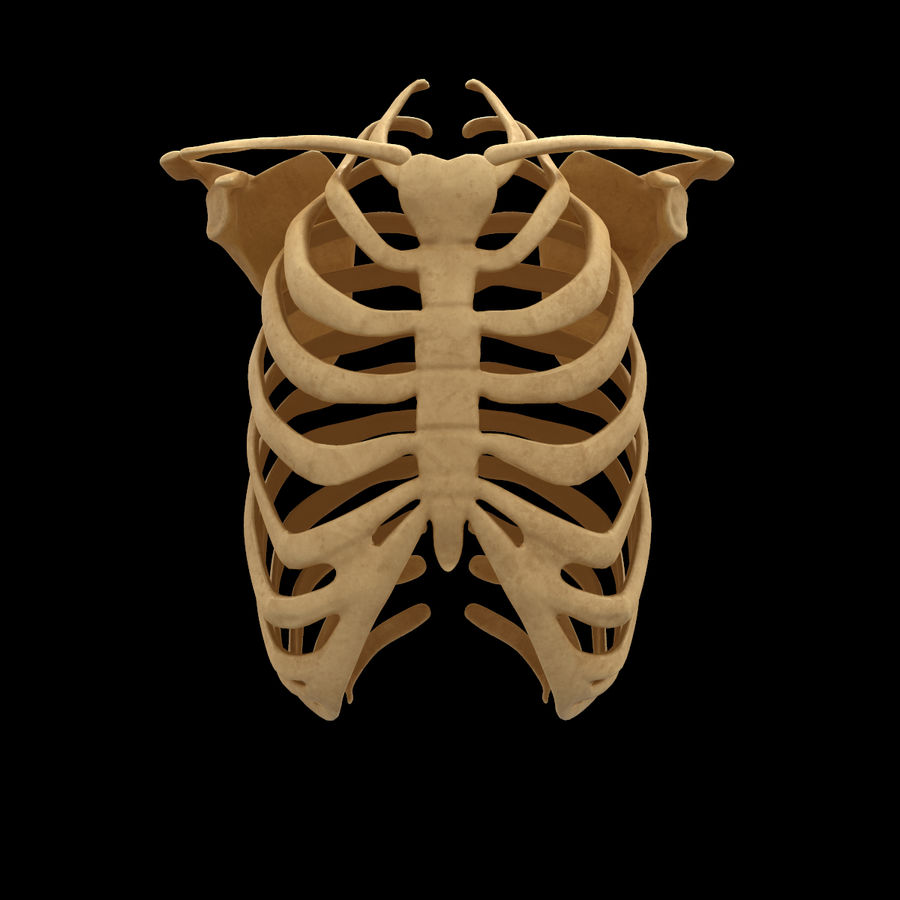Torso Arm Spine Muscle Bone Anatomy royalty-free 3d model - Preview no. 41