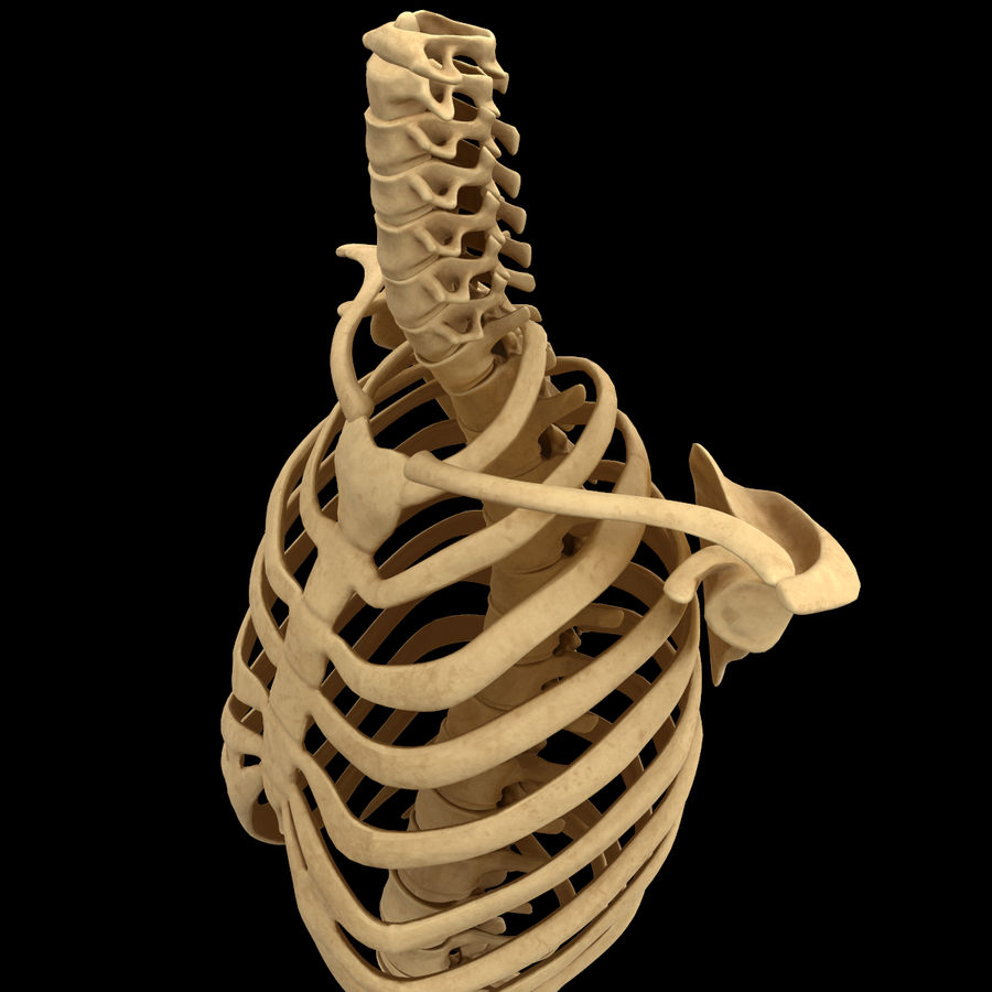 Torso Arm Spine Muscle Bone Anatomy royalty-free 3d model - Preview no. 31