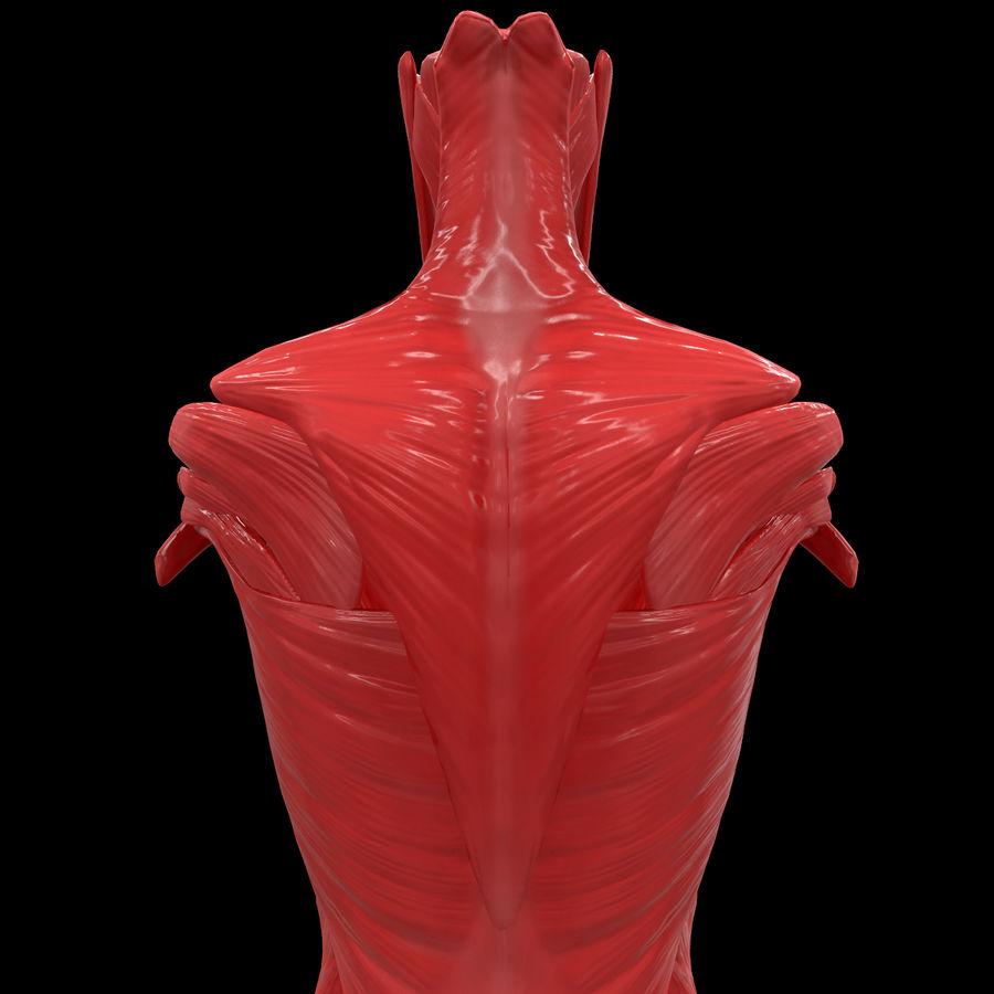 Torso Arm Spine Muscle Bone Anatomy royalty-free 3d model - Preview no. 53