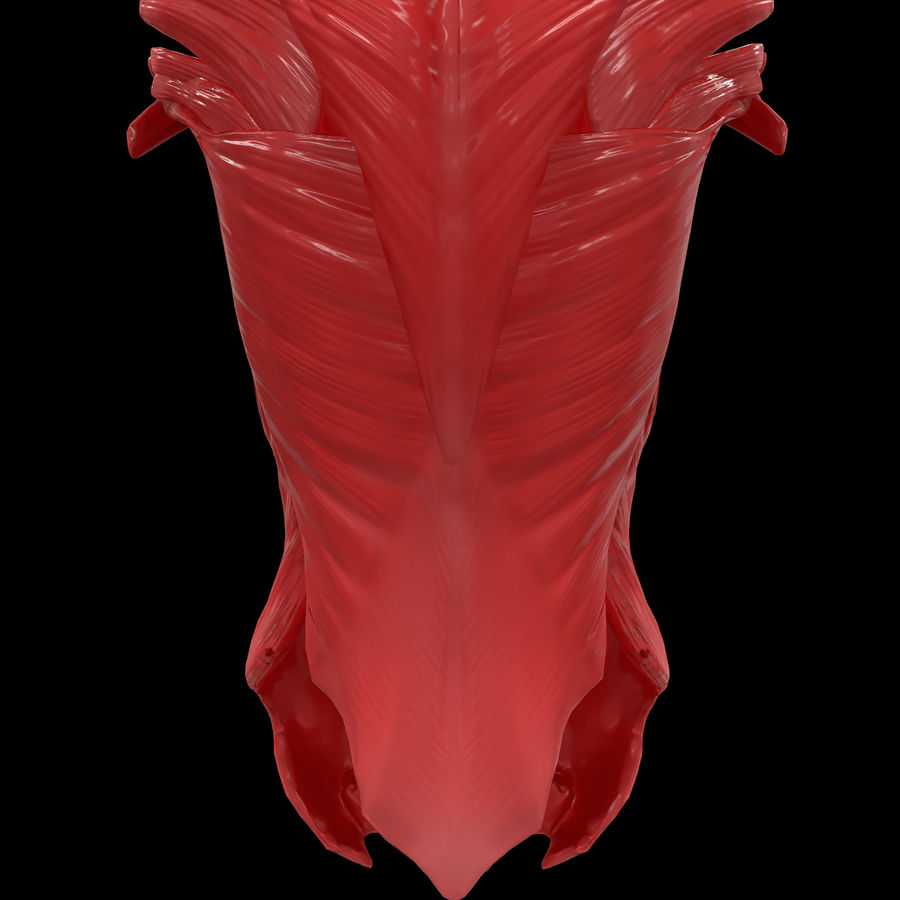 Torso Arm Spine Muscle Bone Anatomy royalty-free 3d model - Preview no. 42