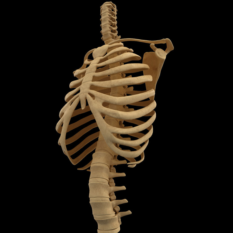 Torso Arm Spine Muscle Bone Anatomy royalty-free 3d model - Preview no. 33