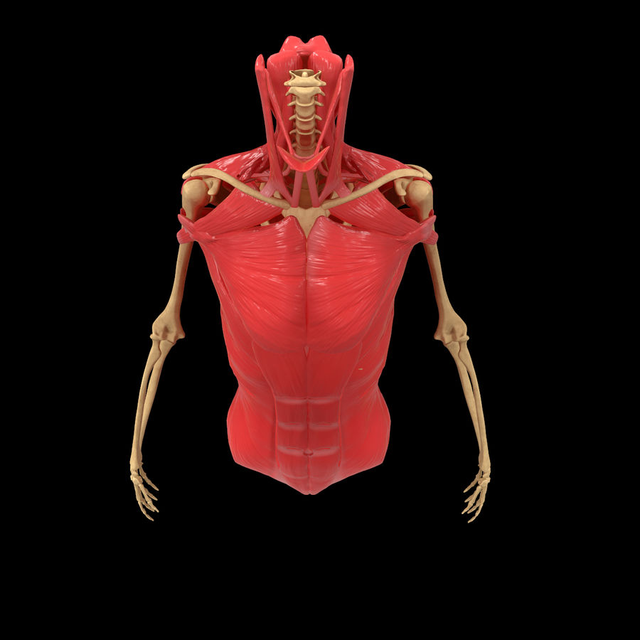 Torso Arm Spine Muscle Bone Anatomy royalty-free 3d model - Preview no. 3