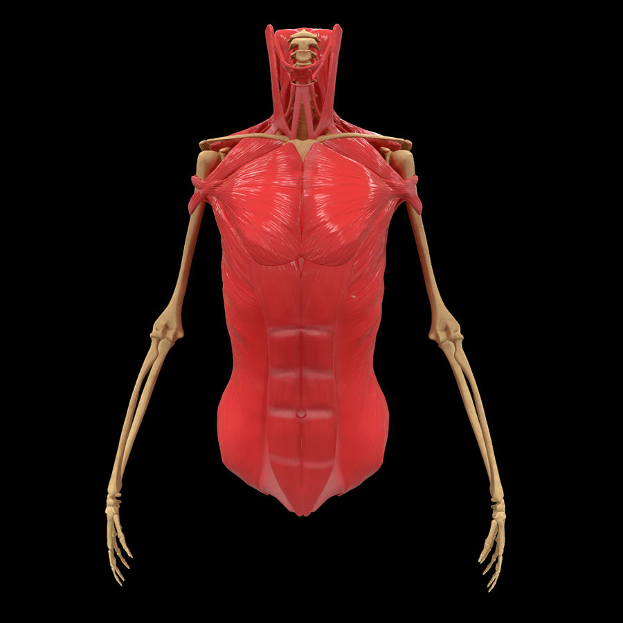 Torso Arm Spine Muscle Bone Anatomy royalty-free 3d model - Preview no. 1