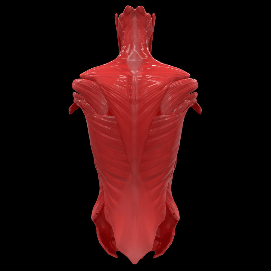 Torso Arm Spine Muscle Bone Anatomy royalty-free 3d model - Preview no. 43