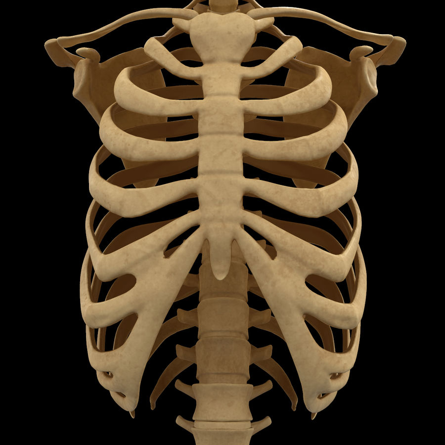 Torso Arm Spine Muscle Bone Anatomy royalty-free 3d model - Preview no. 26
