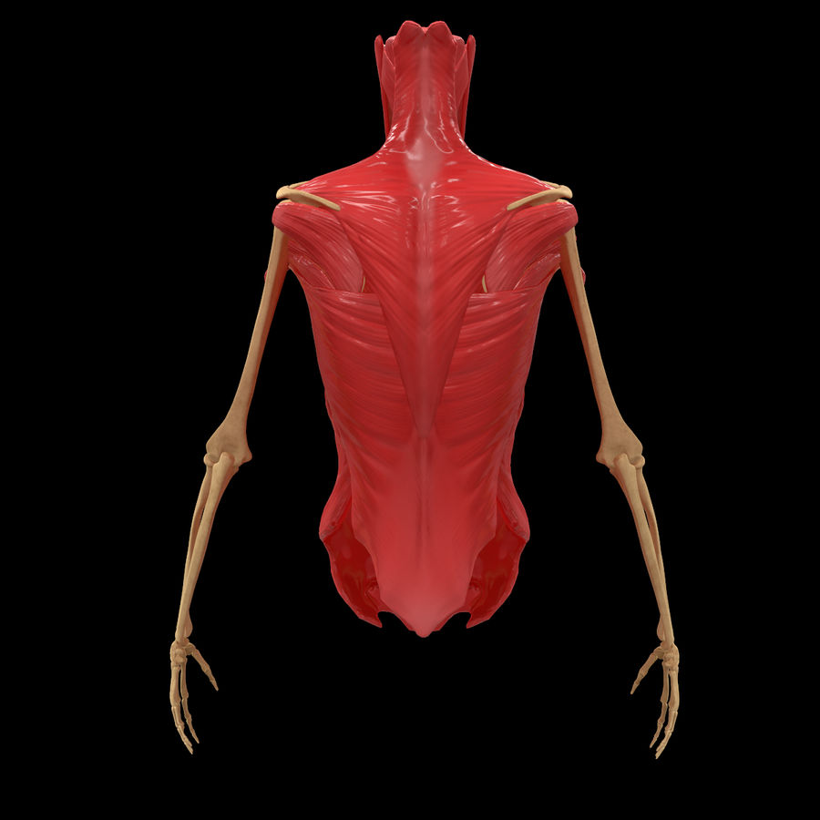 Torso Arm Spine Muscle Bone Anatomy royalty-free 3d model - Preview no. 6