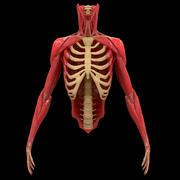 Torso Arm Spine Bone Muscle Anatomy 3d model