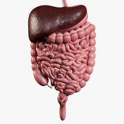 Man Digestive System 3d model