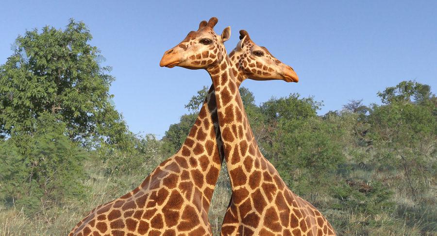 アフリカのキリン3Dモデル royalty-free 3d model - Preview no. 3
