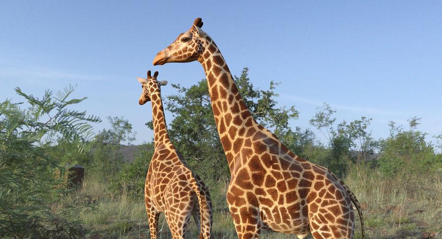 アフリカのキリン3Dモデル royalty-free 3d model - Preview no. 4