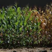 トウモロコシは5年齢で15タイプ-PBR AssetKit 3d model