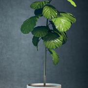 Doniczkowe drzewo figowe 3d model