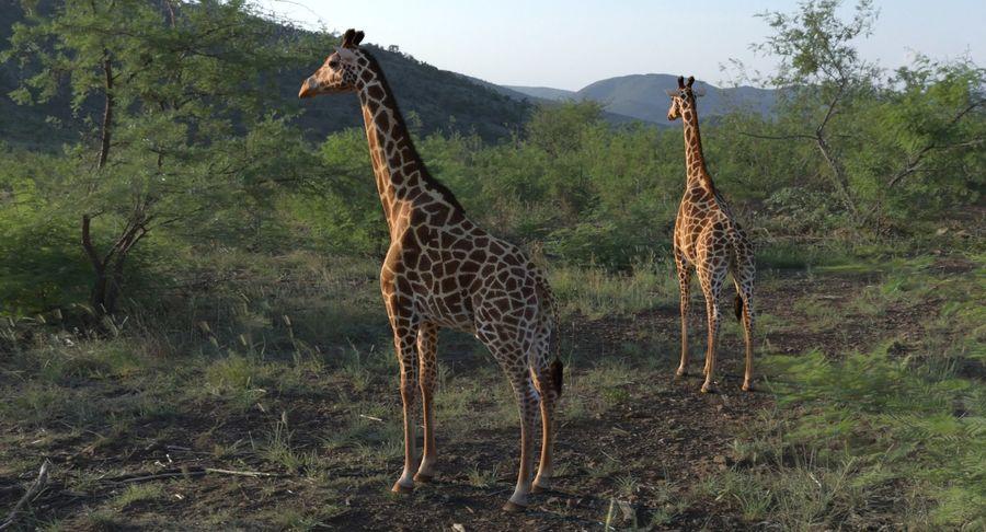 African Giraffe Fur royalty-free 3d model - Preview no. 8