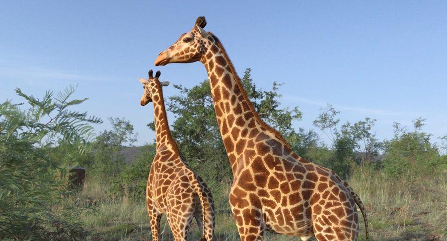African Giraffe Fur royalty-free 3d model - Preview no. 4