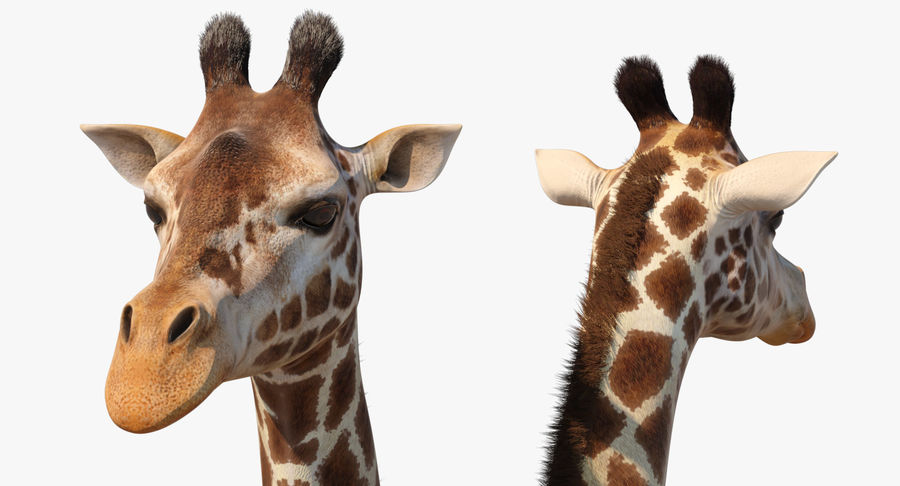 African Giraffe Fur royalty-free 3d model - Preview no. 14