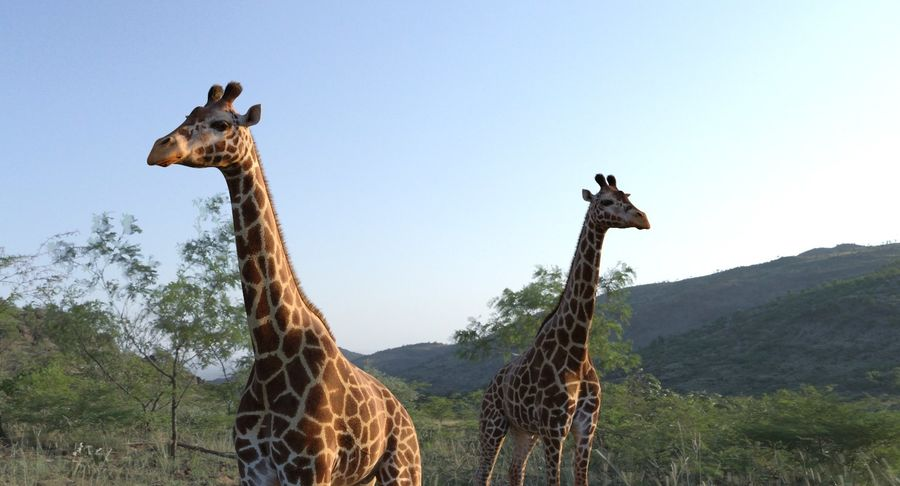 African Giraffe Fur royalty-free 3d model - Preview no. 7