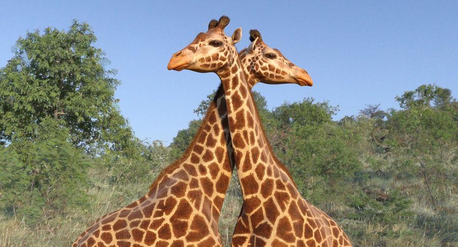African Giraffe Fur royalty-free 3d model - Preview no. 5