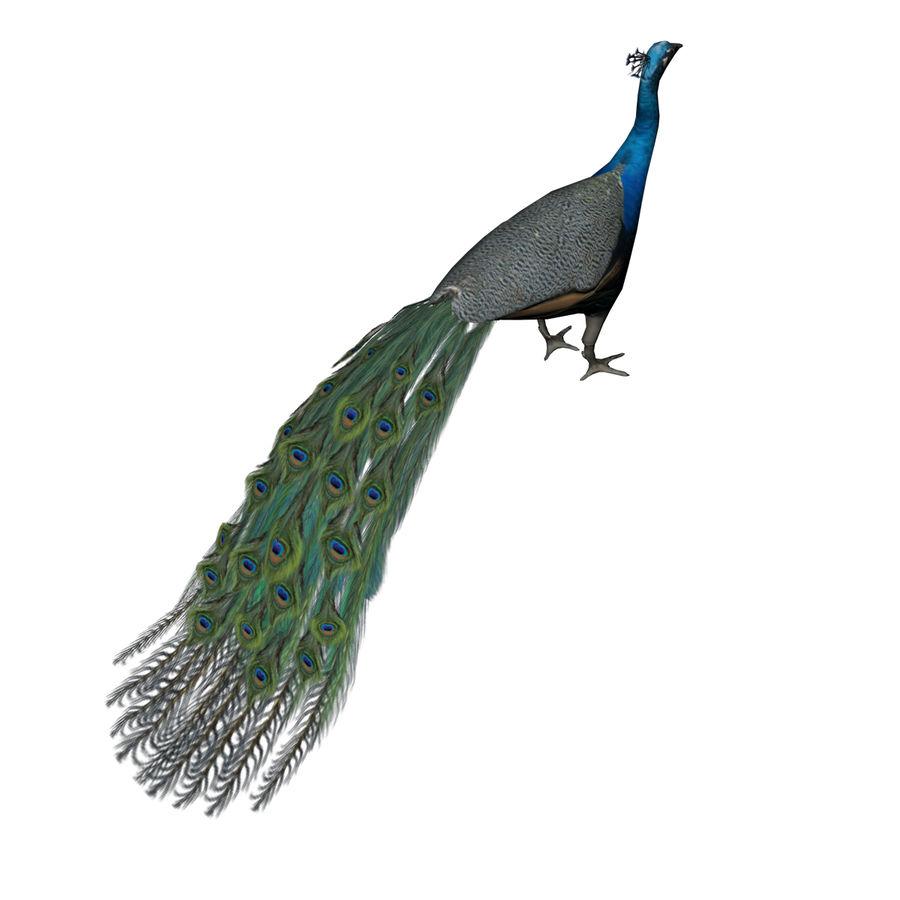 Peacock royalty-free 3d model - Preview no. 7