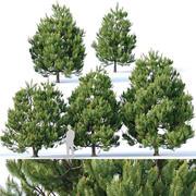 Pinus sylvestris # 3 H3-6m V2 3d model