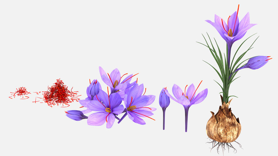 Plant Parts of Crocus with Saffron royalty-free 3d model - Preview no. 2