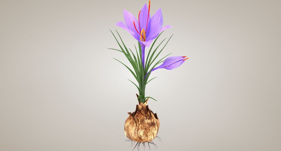 Plant Parts of Crocus with Saffron royalty-free 3d model - Preview no. 4