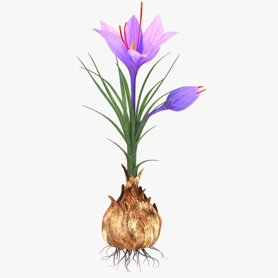 Plant Parts of Crocus with Saffron royalty-free 3d model - Preview no. 3