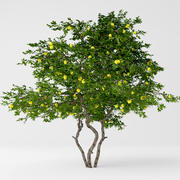 Lemon tree 3d model