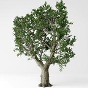 올리브 나무 3d model
