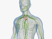 Układ limfatyczny i ciało 3d model