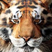Голова тигра 3d model