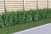 siepe di nove cortecce 120 Physocarpus opulifolius 3d model