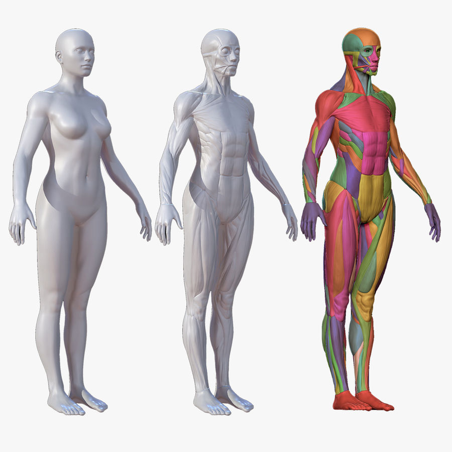 Character - Female Anatomy Body Base HighPoly royalty-free 3d model - Preview no. 2