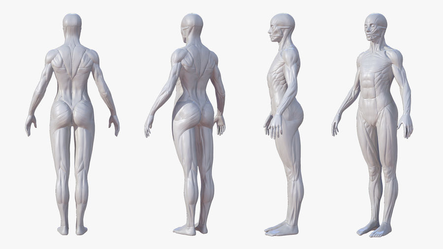 Character - Female Anatomy Body Base HighPoly royalty-free 3d model - Preview no. 4
