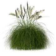 Pampas gräs 3d model