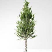 Poplar 3d model