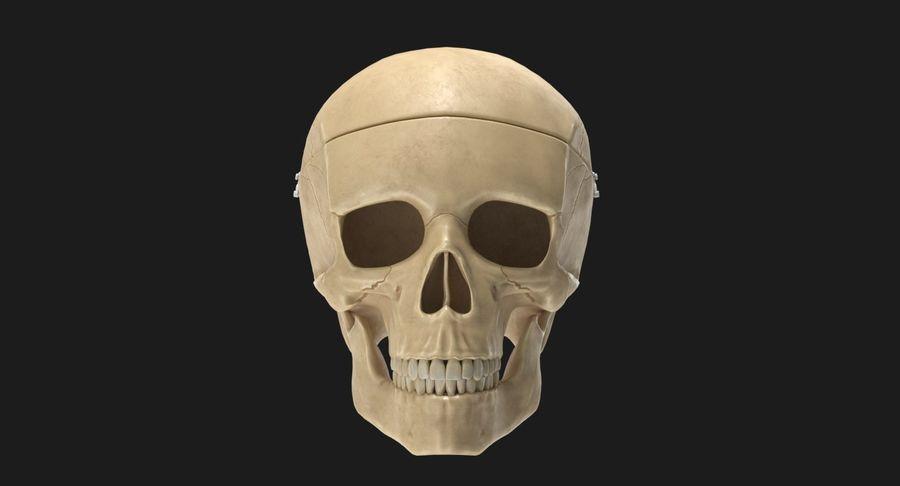 Modèle anatomique de crâne royalty-free 3d model - Preview no. 2
